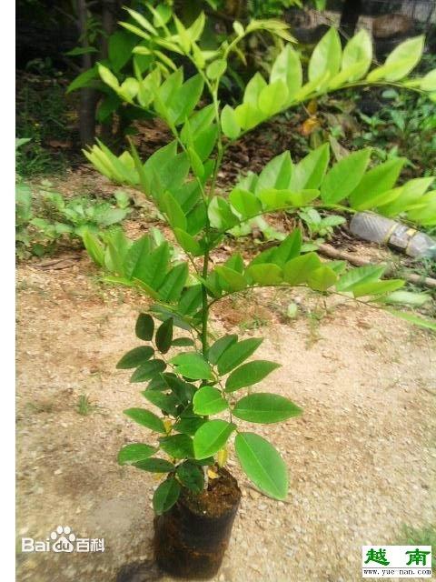 【越南特产】yuenan黄花梨是如何生长的?
