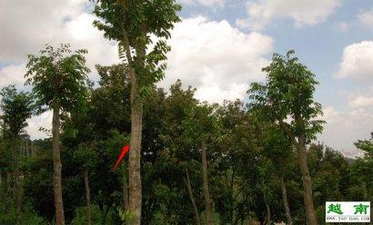 【越南特产】越南沉香与沉香木的关系