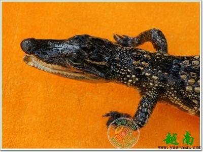 越南特产鳄鱼为的就是变成那些明星手里的名贵